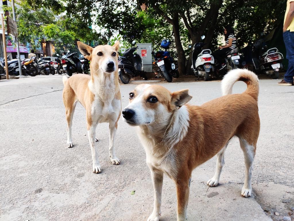 किसी पालतु कुत्ते को पालने की सोचें तो भारतीय नस्ल के कुत्ते को घर लाएं: प्रधानमंत्री